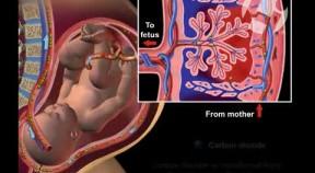 Maternal Fetal Circulation