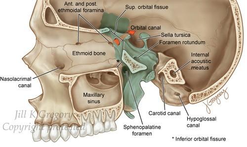 sphenopalatine foramen group essay
